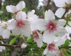 עץ שקדיה- עצי פרי | הדר נוי משתלות