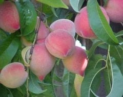 עץ אפרסק- עצי פרי | הדר נוי משתלות