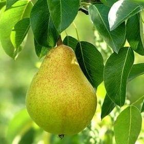 עץ אגס- עצי פרי | הדר נוי משתלות
