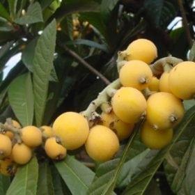 עץ שסק - עצי פרי   הדר נוי משת