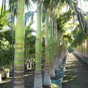 דקל טבעות - עצי נוי | הדר נוי משתלות