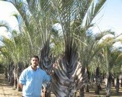 דקל משולש - עצי נוי | הדר נוי משתלות