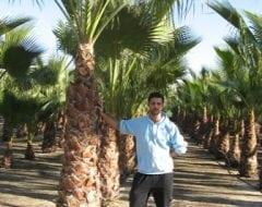 דקל וושינטוניה - עצי נוי | הדר נוי משתלות
