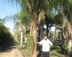 דקל קוקוס - עצי נוי | הדר נוי משתלות