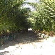 דקל קנרי - עצי נוי | הדר נוי משתלות