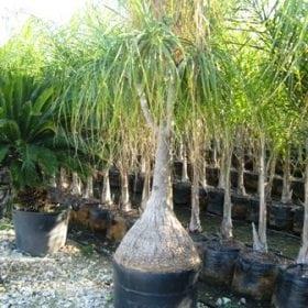 נולינה - עצי נוי   הדר נוי משתלות