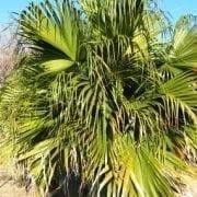 דקל ליויסטונה - עצי נוי | הדר נוי משתלות