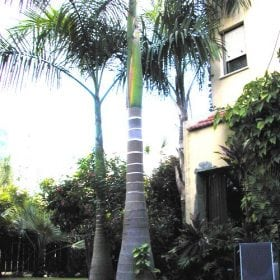 ארכי-תמר אלקסנדרה - עצי נוי   הדר נוי משתלות