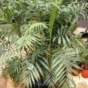 כמדוריאה עדינה - עצי נוי | הדר נוי משתלות