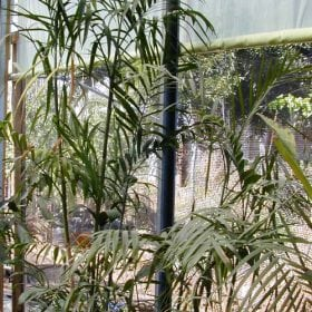 כמדוריאה סאיפריצי - עצי נוי | הדר נוי משתלות