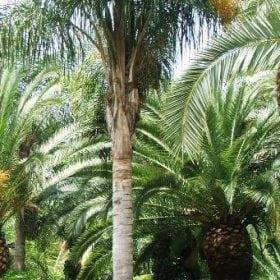 סיאגרוס רומנזוף - עצי נוי | הדר נוי משתלות
