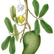 גוונבנה - עצי פרי אקזוטיים | הדר נוי משתלות