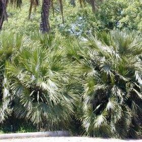 שמרופס הומיליס (כמרופס נמוך) - עצי נוי | הדר נוי משתלות