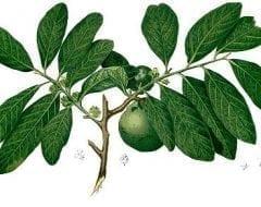 ספוטה שחורה- עצי פרי אקזוטיים | הדר נוי משתלות