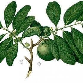 ספוטה שחורה- עצי פרי אקזוטיים   הדר נוי משתלות