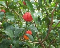 פיטנגו 'גיתית' על גזע - עצי פרי אקזוטיים | הדר נוי משתלות