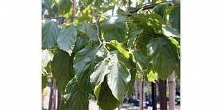 הובניה מתוקה - עצי פרי אקזוטיים | הדר נוי משתלות