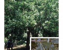 אלון אנגלי- עצי נוי | הדר נוי משתלות
