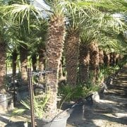 דקל שמרופס - עצי נוי | הדר נוי משתלות