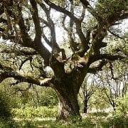 אלון הגלעין - עצי נוי   הדר נוי משתלות