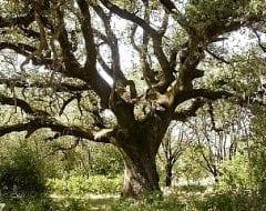 אלון הגלעין - עצי נוי | הדר נוי משתלות