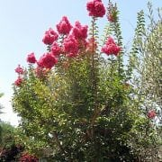 לגרסטרמיה הודית - עצי נוי   הדר נוי משתלות