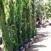 ברוש מצוי 'טוטם' - עצי נוי | הדר נוי משתלות