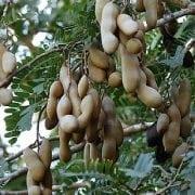 תמר הינדי- עצי פרי אקזוטיים | הדר נוי משתלות