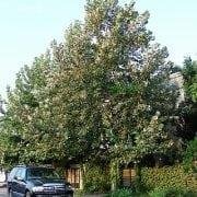 דולב מכסיקני למכירה- עצי נוי | הדר נוי משתלות