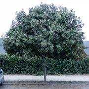 כרבל לביד למכירה - עצי נוי | הדר נוי משתלות