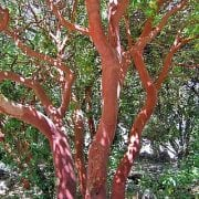 קטלב מצוי - עצי נוי | הדר נוי משתלות