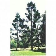 אראוקריה קנינגהמיה- עצי נוי | הדר נוי משתלות
