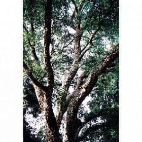 אלון השעם - עצי נוי | הדר נוי משתלות