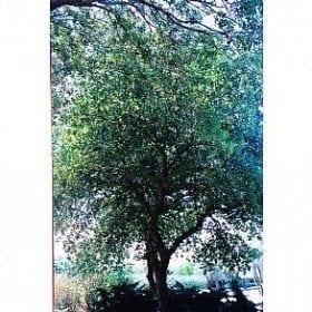 אלון תבור- עצי נוי | הדר נוי משתלות