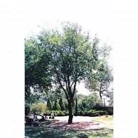 אלון מצוי - עצי נוי | הדר נוי משתלות