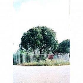 אורן הצנובר - עצי נוי | הדר נוי משתלות