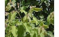 אקליפטוס לימוני- עצי נוי | הדר נוי משתלות