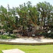 פיקוס השקמה - עצי נוי | הדר נוי משתלות