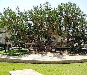 פיקוס השקמה - עצי נוי   הדר נוי משתלות