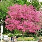 טבבויה איפה למכירה - עצי נוי | הדר נוי משתלות