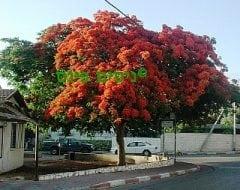 צאלון נאה למכירה - עצי נוי| הדר נוי משתלות