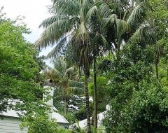 הוואיה פורסטריאנה ('קנטיה') - עצי נוי | הדר נוי משתלות