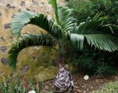 היופורב לאגניכאוליס (מסקרנה) - עצי נוי | הדר נוי משתלות