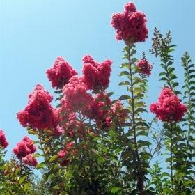 לגרסטרמיה הודית - עצי נוי | הדר נוי משתלות