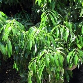 עץ ליצ'י - עצי פרי | הדר נוי משתלות