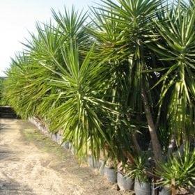 דקל - יוקה - עצי נוי | הדר נוי משתלות