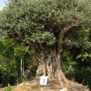 זית סורי עתיק מס' 1 - עצי נוי   הדר נוי משתלות