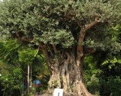 בלתי רגיל עצי זית למכירה | הדר נוי משתלות LA-87