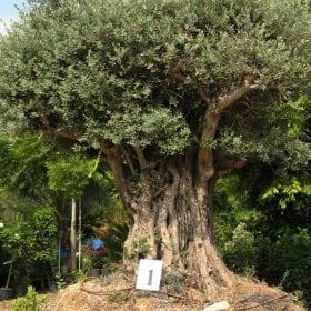 זית סורי עתיק מס' 1 - עצי נוי | הדר נוי משתלות