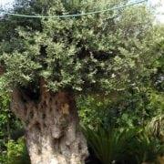 זית סורי עתיק מס' 3 - עצי נוי   הדר נוי משתלות